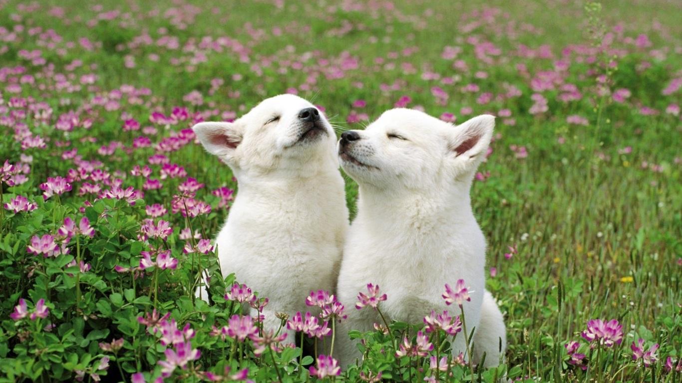 cachorrinhos brancos no campo de flores